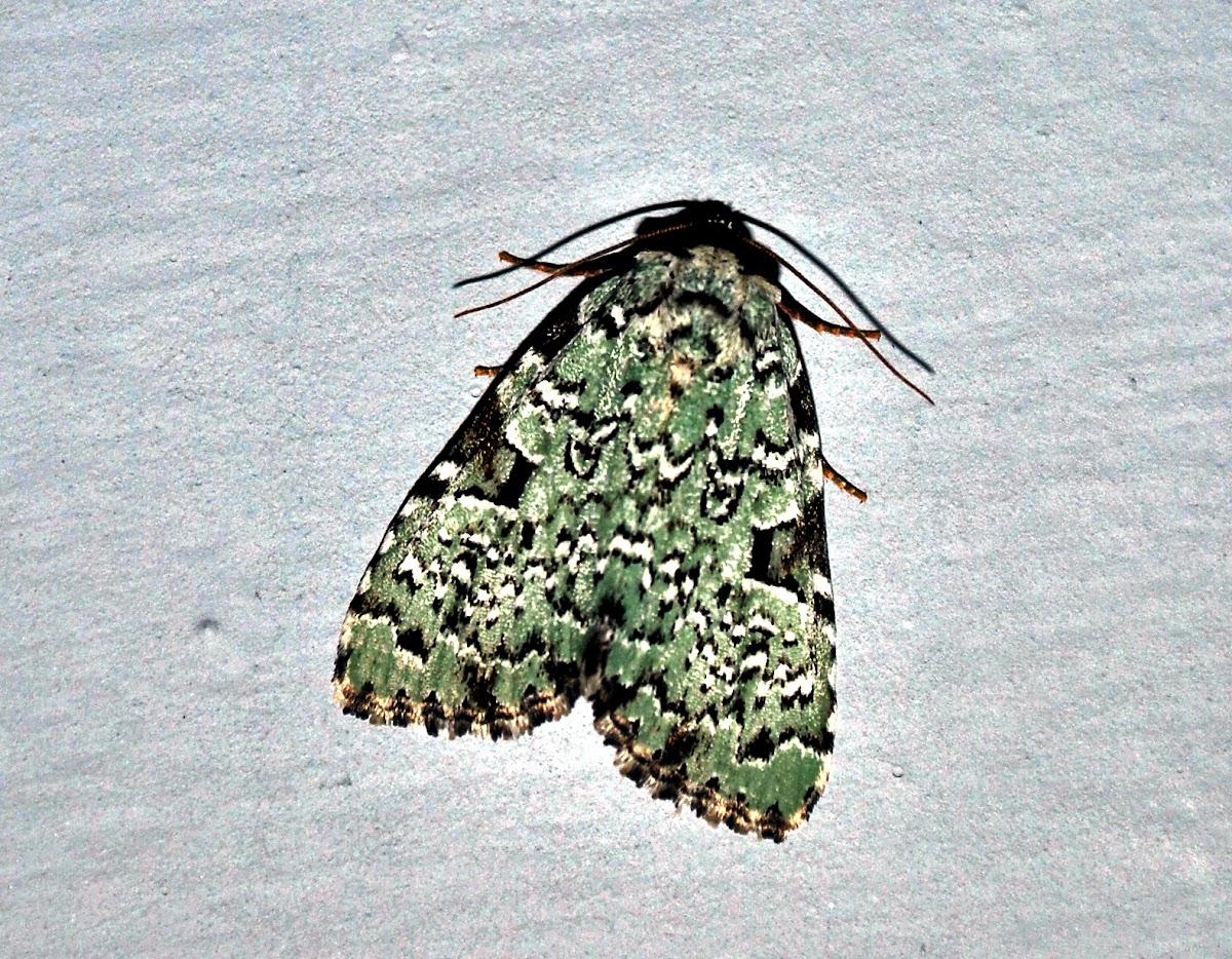 Green Leuconycta Moth