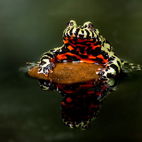 Red Bellied Toad by Lee Sutton - Animals Amphibians ( red, waterscape, green, toad, reptile )