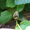 Black Swallowtail,  American Swallowtail
