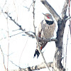 Common Flicker Red-shafted race