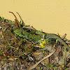 Sardão (Ocellated lizard)