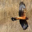 Northern Harrier ( immature)