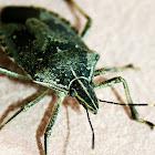 Angery Bug