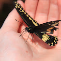 Eastern Black Swallowtail (Male)