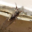 Black Tree Ticker Cicada