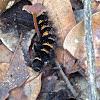Giant Leopard Moth  Caterpillar