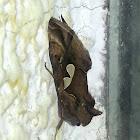 Bilobed Looper Moth