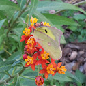 Southern Dogface butterfly on milkweed