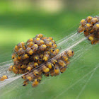 Orb-weaver spiders