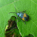 Manzanita Leaf Beetle