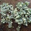 Hooded Rosette Lichen