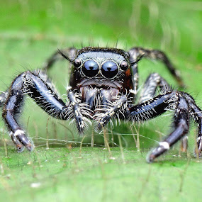 Jumping Spider by Wong H-I - Animals Insects & Spiders (  )