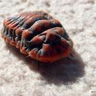Snow Ball Giant Mealy Bug