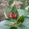 Red Silk Cotton Bug