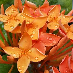 by Abdul Salim - Flowers Flower Gardens ( #smartphone, #flowers, #flower macro, #ixora,  )