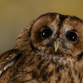 Tawny Owl by Dawn Cotterell - Animals Birds ( studio, bird of prey, owl, feathers, portrait )