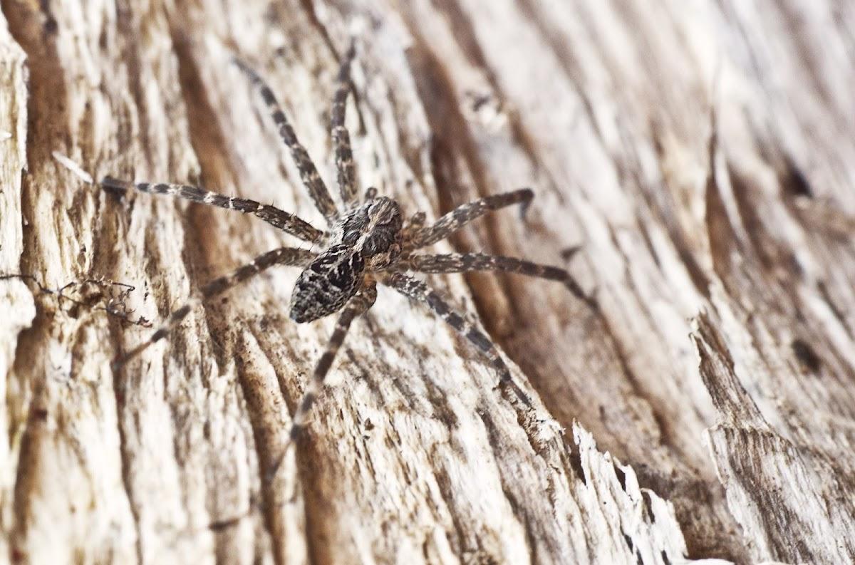 Fishing Spider (Dolomedes)