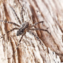 Fishing Spider (Dolomedes)