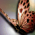 Brown Butterfly Live Wallpaper logo
