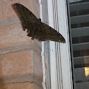 Black Witch Moth (Male)