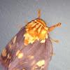 Mexican Citheronia