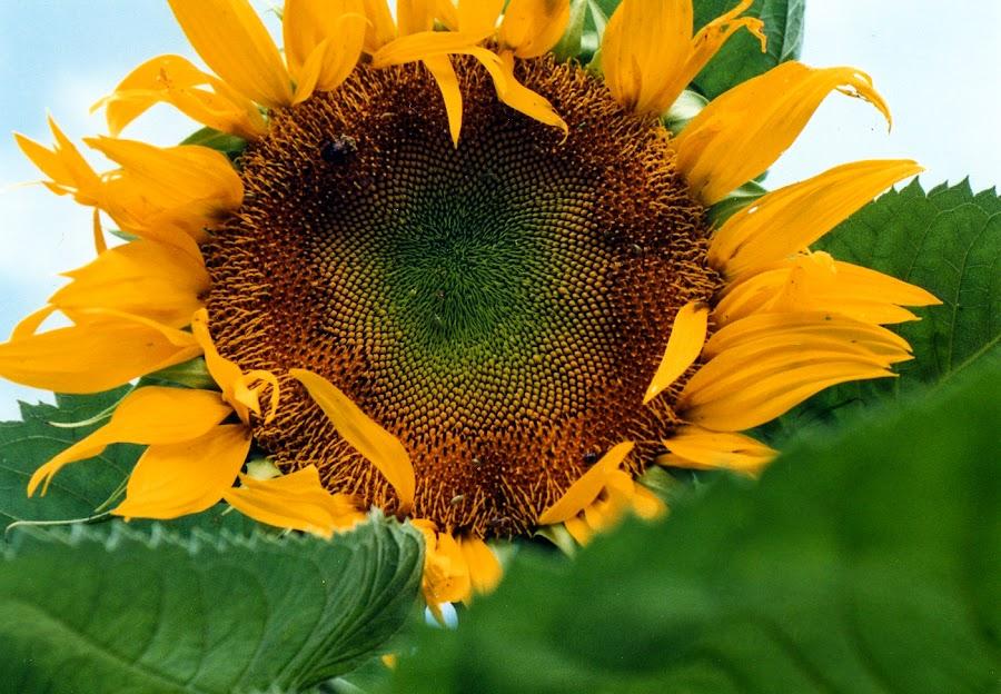 sun flower by Debra Parrilli - Flowers Single Flower (  )