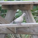 Eurasion Collared-Dove