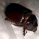 Southwestern Ox Beetle