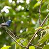 Black-naped Blue Flycatcher