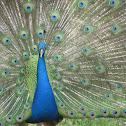 Indian Peafowl or Blue Peafowl