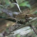 Casque-Headed Lizard