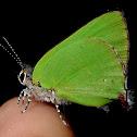 Cyanophrys Butterfly