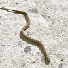 Viperine Water Snake