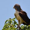 Gavião-de-rabo-branco (White-tailed-hawk)