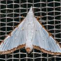 Cirrhochrista Moth