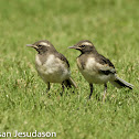 Whitebrowed Wagtail