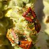 Mediterranean Shield Bug