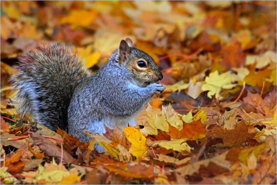 Autumn Leaves...and a Squirrel by Dennis Bartsch - Animals Other Mammals