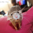 Domestic rat