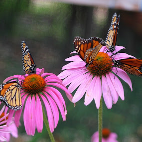 Welcome to My Garden by Sherri Woodbridge - Flowers Flower Gardens ( monarchs, butterflies, white spots, wings, insect, orange and black,  )