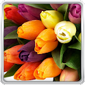 Colorful Tulips Live Wallpaper