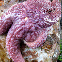Sea Star (with wasting disease)