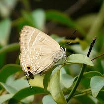 Kupu-kupu urban - Butterflies of Jakarta