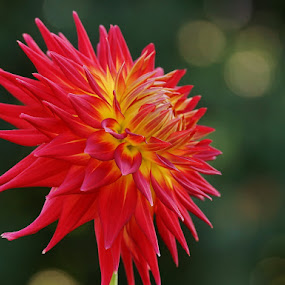 Dahlia by Ann Overhulse - Flowers Single Flower