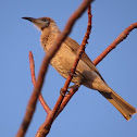Little Friarbird