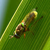 Soldier Fly