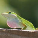 Carolina Anole (Green Anole) male
