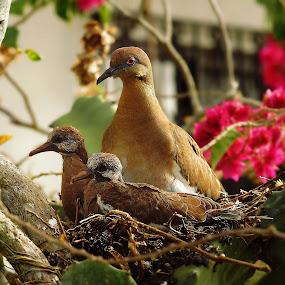 White-winged Dove (Zenaida asiatica) with Chicks by Siggy In Costa Rica - Animals Birds ( bird, nest, chicks, dove,  )