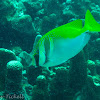 Double-barred rabbitfish