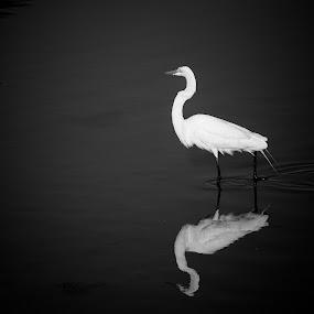 Elegance by Eduardo Llerandi - Animals Birds ( bird, black and white, fine art photography, fine art, reflections, lake,  )
